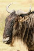 image of wildebeest  - Wildlife Wildebeest on the safari in Africa - JPG