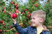 stock photo of apple orchard  - little boy in an apple orchard tear red apples - JPG