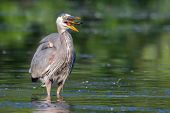 pic of bluegill  - Great Blue Heron eating a fish he just caught in soft focus