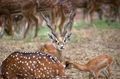 image of black tail deer  - Black buck and spotted deer grazing in the safari - JPG