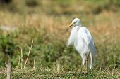 Intermediate Egret With Ruffled Feathers