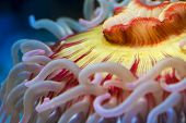 stock photo of clos  - Fish eating anemone  - JPG