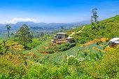 pic of hayfield  - Highland tea plantations of Ceylon  - JPG