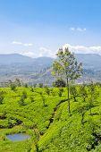 stock photo of nu  - Plantation of tea bushes in Ceylon  - JPG