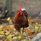 picture of gaul  - rooster with brown plumage on the run in leaves - JPG