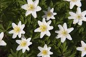 White Leaved Wood Anemone
