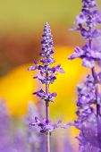 stock photo of clary  - Salvia sclarea Flowers herb blooming in a garden on softly blurred background in the garden