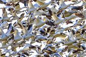 image of geese flying  - Hundreds of Snow Geese Taking Off Flying In Response to Threat Washington - JPG