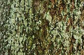 Bark Of A Tree Covered With Moss