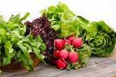 picture of leafy  - Healthy fresh salad ingredients displayed on old weathered wooden boards with several varieties of leafy green lettuce and a bunch of crisp peppery radish over a white background with copyspace - JPG