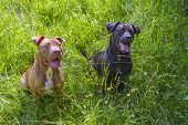 image of pitbull  - Young female pitbull and black male pitbull mix sitting in the grass