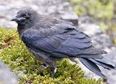 stock photo of creeper  - An old Raven - JPG
