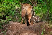 stock photo of coyote  - Coyote Pup  - JPG
