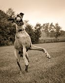 Постер, плакат: Great Dane trying to catch ball in sepia