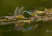 picture of mating animal  - Photograph of a pair of Common Green Darners mating and laying eggs reflected in the beautiful waters of a northern Wisconsin lake - JPG