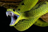 stock photo of tree snake  - Vipers have an impressive armory in their mouth - JPG