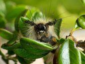 image of moth larva  - A hairy vividly coloured Vapourer moth caterpillar - JPG