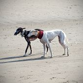 stock photo of greyhounds  - Two greyhound dogs on the beach walking - JPG