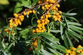 picture of sea-buckthorn  - Branch of bright sea buckthorn berries closeup - JPG