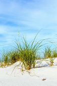 picture of dauphin  - grass grows at dune at a beautiful beach on Dauphine Island - JPG