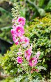 pic of hollyhock  - Pink Hollyhocks  - JPG