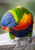 image of lorikeets  - One beauty Rainbow lorikeet (Trichoglossus haematodus) portrait.