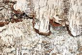 pic of white bark  - Birch Bark Textured Black and White Background - JPG