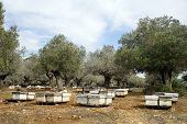 picture of beehive  - Beehives and olive trees in south Israel - JPG