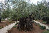 pic of gethsemane  - Olive trees in Gethsemane grden in Jerusalem Israel - JPG