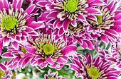 picture of chrysanthemum  - Pink and white chrysanthemums - JPG