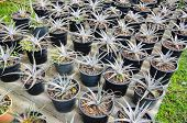 pic of bromeliad  - the Plant Bromeliad Latin name Aechmea fasciata - JPG