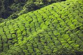 image of cameron highland  - Landscape view of Tea Plantation in Cameron Highland - JPG