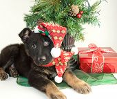 picture of christmas puppy  - Very cute German Shepherd puppy laying under a Christmas tree wearing a scarf and hat - JPG