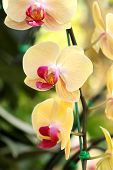 image of yellow orchid  - yellow Phalaenopsis orchid in the orchid garden - JPG