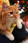 picture of lovable  - Lovable red cat on Christmas tree background - JPG