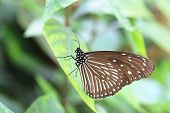 stock photo of blue butterfly  - Blue spotted milkweed butterfly and green leaf - JPG