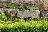 pic of rape-seed  - yellow rape flowers in a full bloom against a stone wall in Jeju Island Korea - JPG