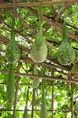 picture of gourds  - a big green Bottle gourd in garden - JPG