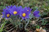 picture of saffron  - First blue crocus flowers spring saffron in a forest - JPG