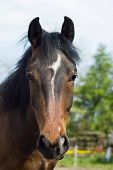 foto of stallion  - close up Photo of hores head stallion brown - JPG