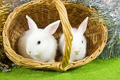 stock photo of tawdry  - Two white rabbits in basket against spangle - JPG