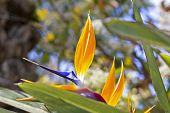 stock photo of bird paradise  - Bird of Paradise flower - JPG