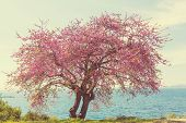 picture of benchmarking  - Redbud tree pink flowers - JPG