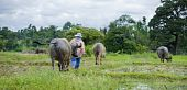 stock photo of female buffalo  - thai female farmer walking with a herd of water buffaloes - JPG