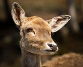 foto of deer head  - A Close up photo of the head and face of a very cute young baby deer fawn - JPG