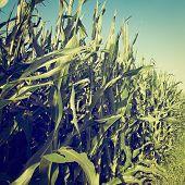 stock photo of bavaria  - Plantation of Corn in Southern Bavaria Retro Effect - JPG