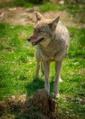 foto of coyote  - A common North American Coyote  - JPG