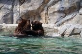 foto of bear  - A pair of grizzly bears  - JPG