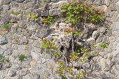 foto of vegetation  - Stone old wall background with roots and vegetation - JPG