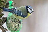 stock photo of tit  - Blue Tit  - JPG
